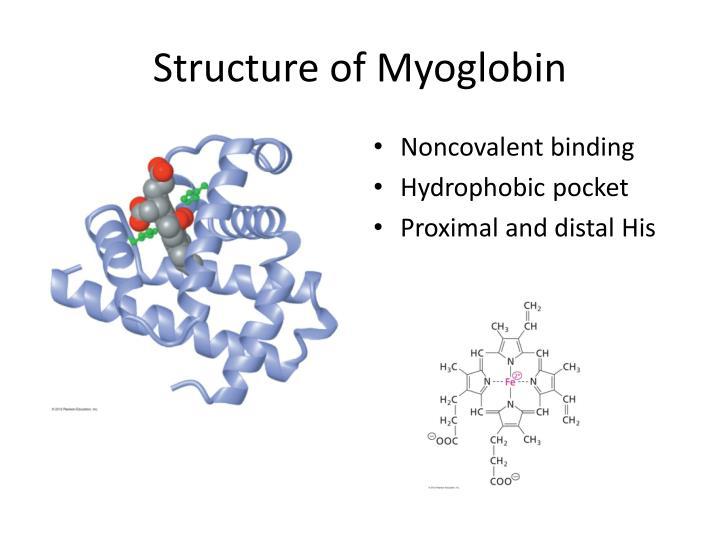 Structure of Myoglobin