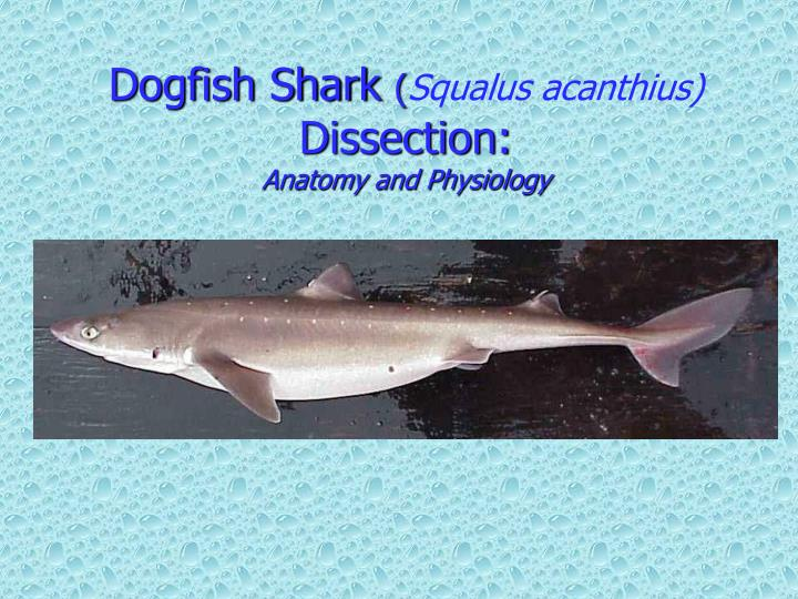 Ppt Dogfish Shark Squalus Acanthius Dissection Anatomy And