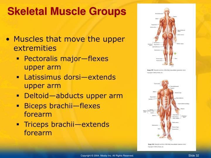 Skeletal Muscle Groups
