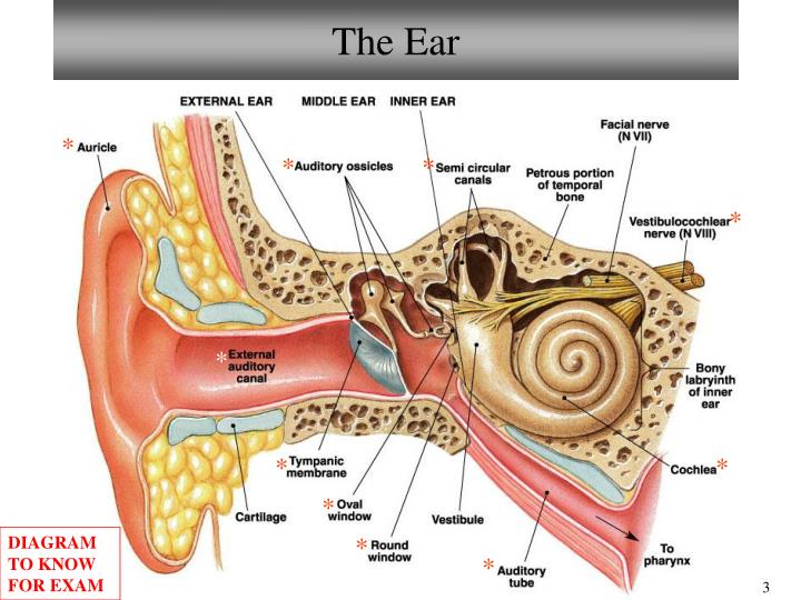 Ppt Bio101 Laboratory 14 Ear Eye Anatomy Powerpoint Presentation