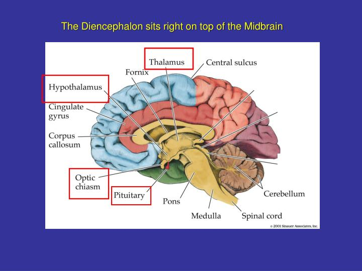 The Diencephalon sits right on top of the Midbrain