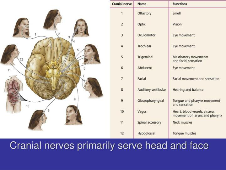 Cranial nerves primarily serve head and face