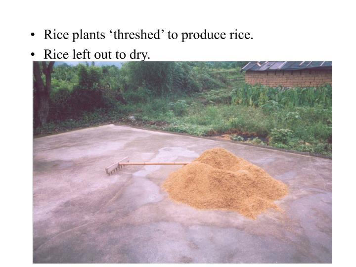 Rice plants 'threshed' to produce rice.