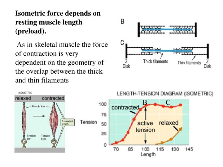 Isometric force depends on resting muscle length preload