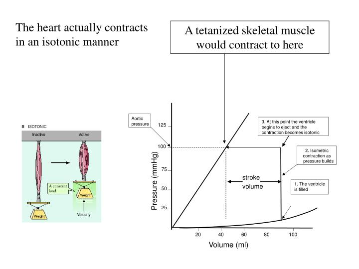 The heart actually contracts in an isotonic manner