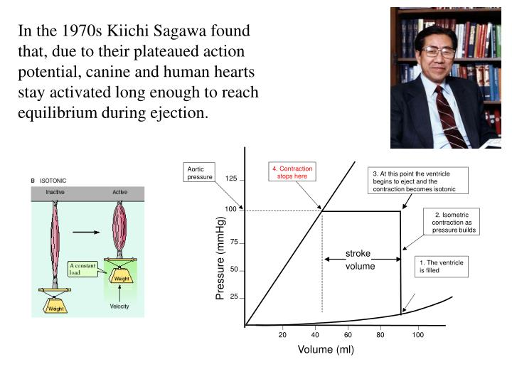 In the 1970s Kiichi Sagawa found that, due to their plateaued action potential, canine and human hearts stay activated long enough to reach equilibrium during ejection.