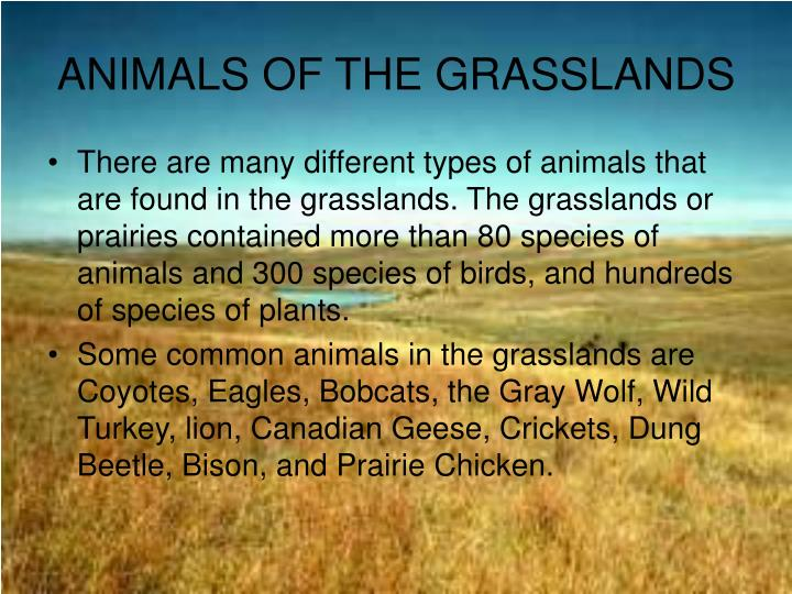 the grasslands essay Grasslands has been called by many different names for i e in the united states midwest, are called prairies (environment nationalgeographic om) we will write a custom essay sample on grasslands specifically for you.