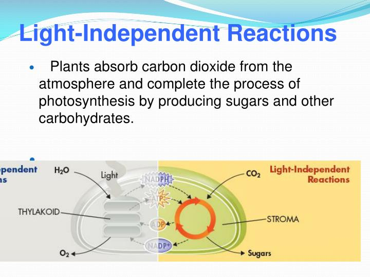 Light-Independent Reactions