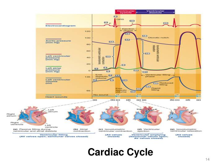 quiz 3 cardiac cycle At rest the heart pumps around 5l of blood around the body every minute, but this can increase massively during exercise in order to achieve this high output.