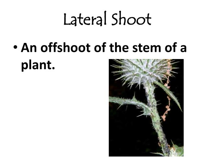 Lateral Shoot
