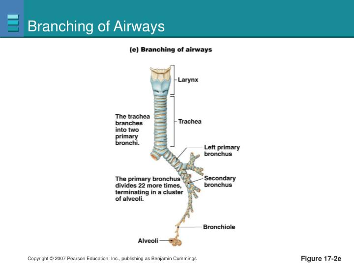 Branching of Airways