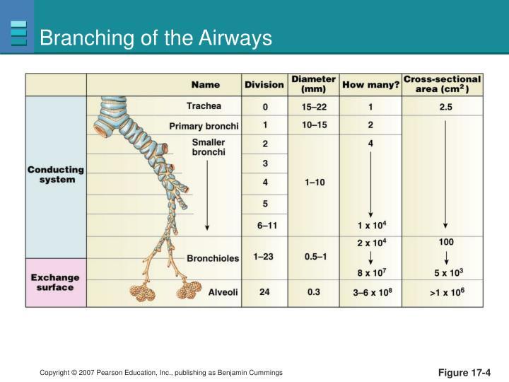 Branching of the Airways