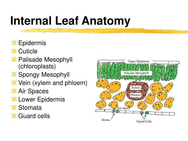 Modern Internal Leaf Anatomy Picture Collection Anatomy And