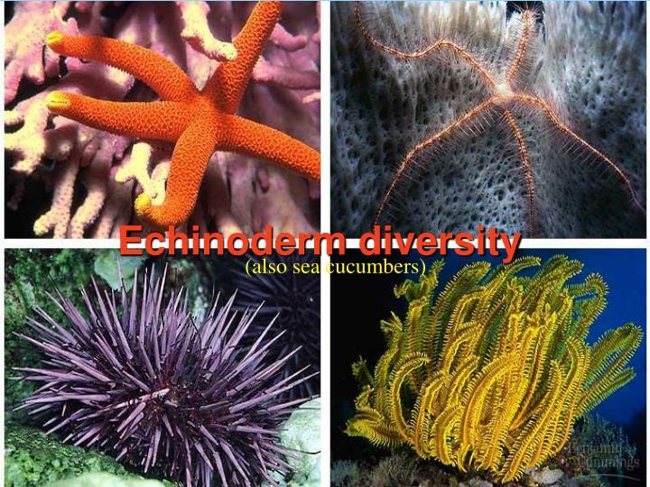 Echinoderm diversity