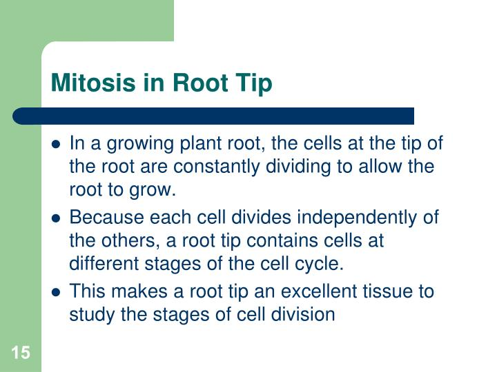 Mitosis in Root Tip