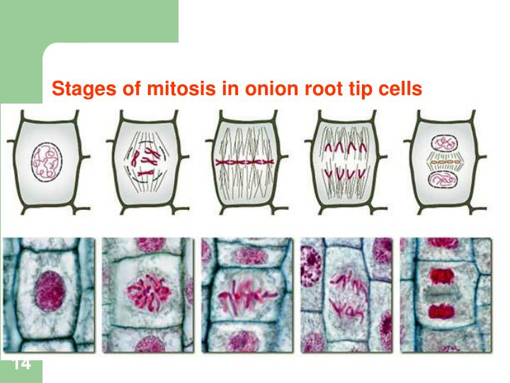 Stages of mitosis in onion root tip cells