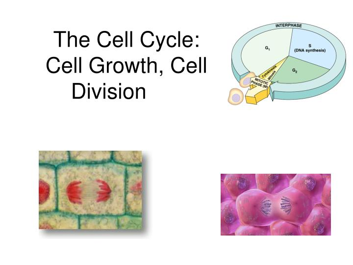 the cell cycle cell growth cell division n.