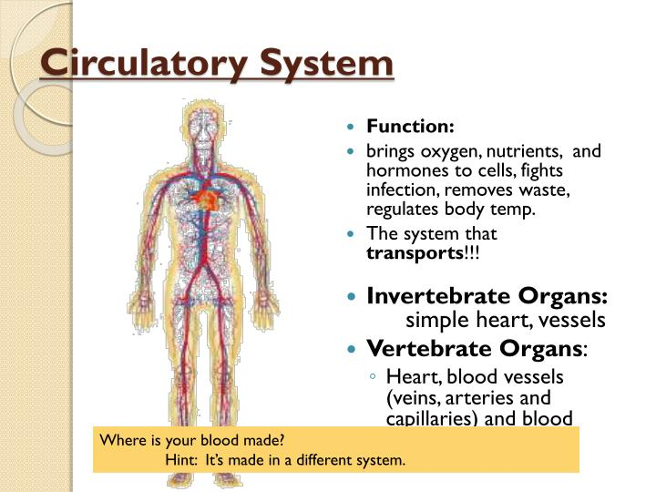 PPT - Comparative Anatomy: Animal Body Systems: Circulatory System ...