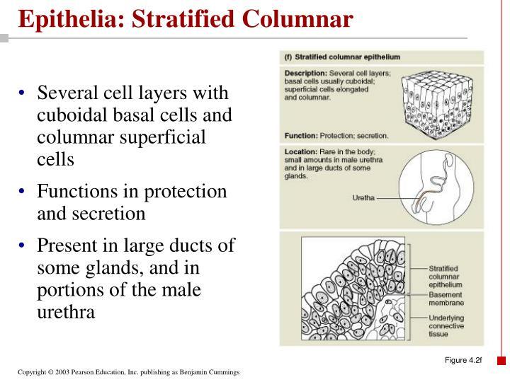 Epithelia: Stratified Columnar