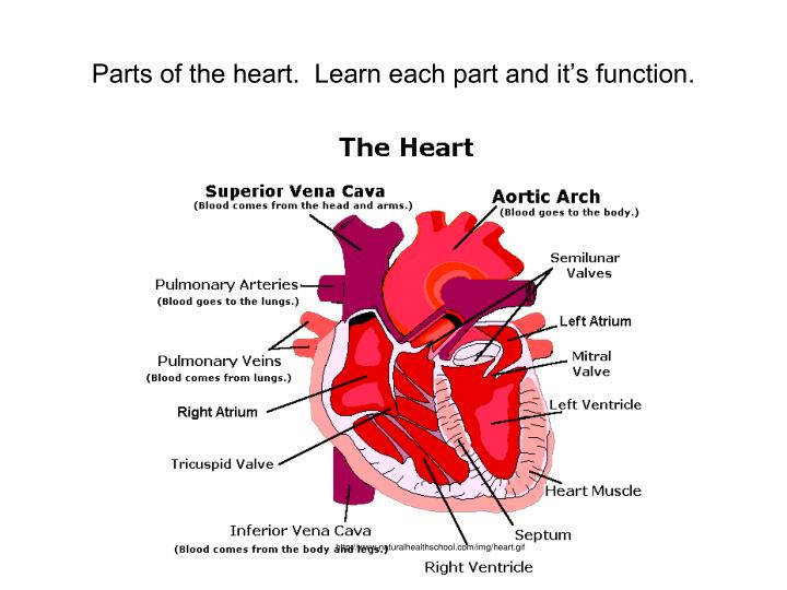 Ppt cardiovascular system powerpoint presentation id3110636 parts of the heart learn each part and its function ccuart Image collections
