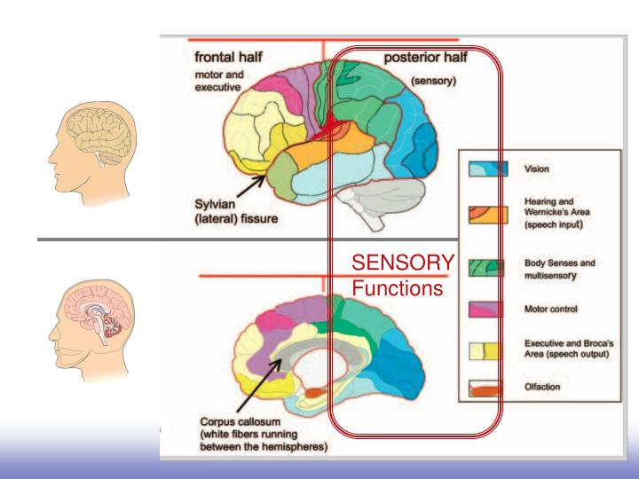 Sensory functions and sensory memory tend to be in the posterior half of cortex.