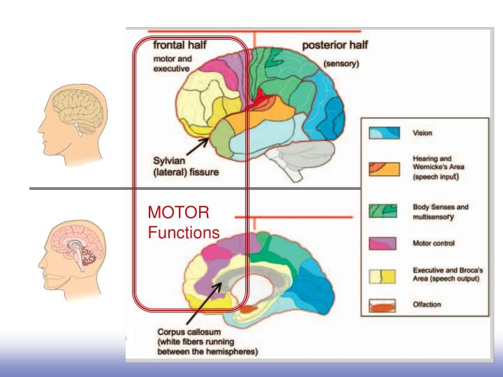 Motor functions and planning are frontal.