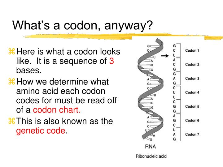 What's a codon, anyway?