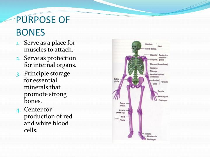 Ppt Skeletal System Chapter 15 Lessons 1 And 2 Powerpoint