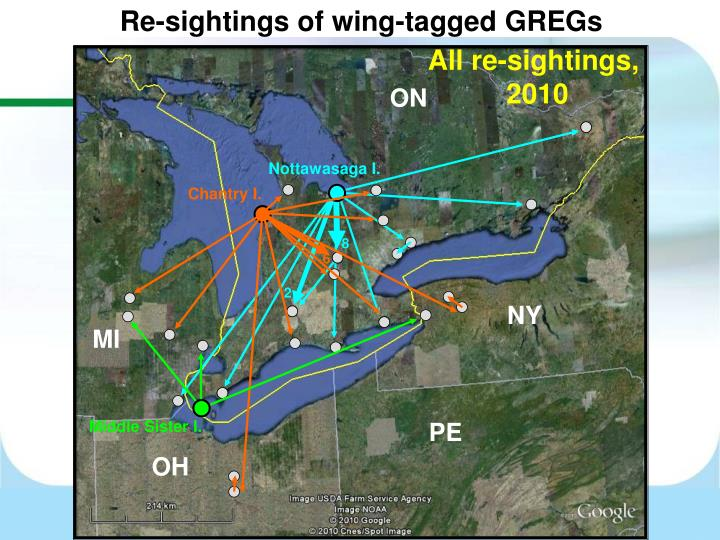 Re-sightings of wing-tagged GREGs