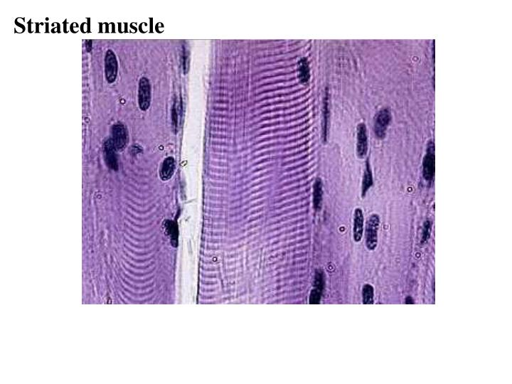 Striated muscle