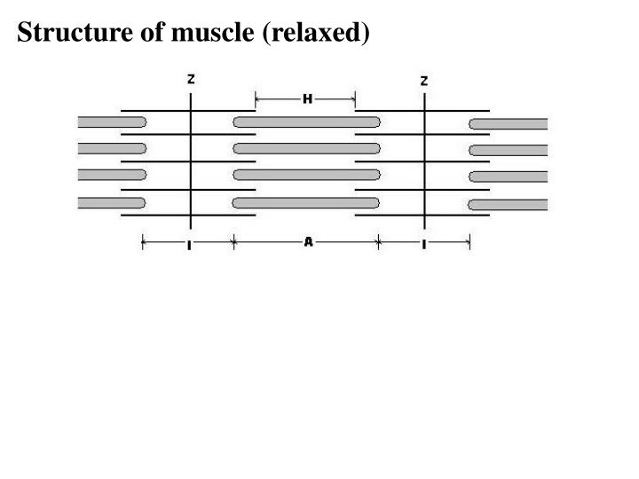 Structure of muscle (relaxed)