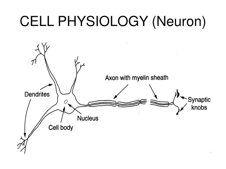 Cell physiology neuron