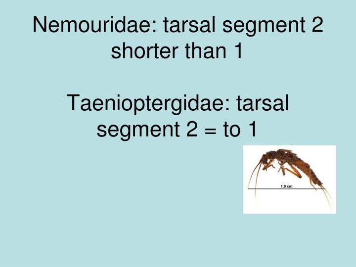 Nemouridae: tarsal segment 2 shorter than 1