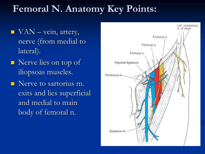 femoral nerve anatomy pictures and information - 720×540