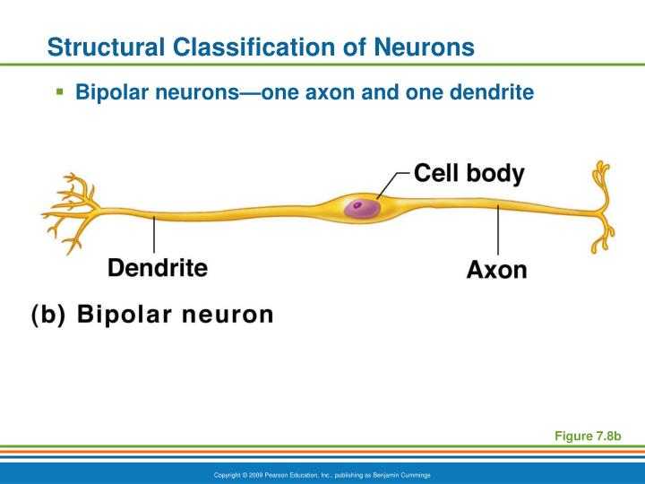 Structural Classification of Neurons