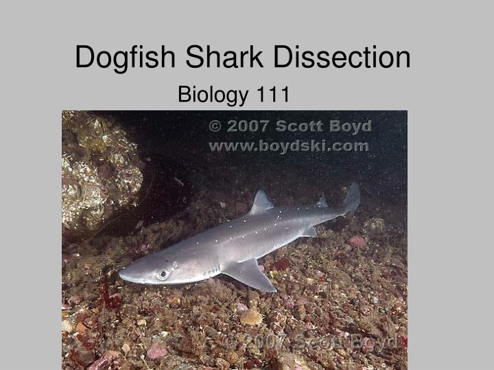dogfish shark dissection essay