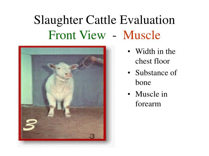 Slaughter Cattle Evaluation