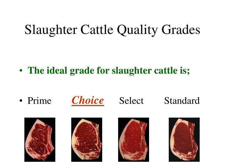 Slaughter Cattle Quality Grades