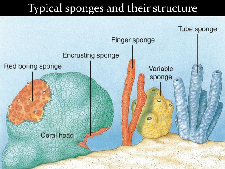 Typical sponges and their structure