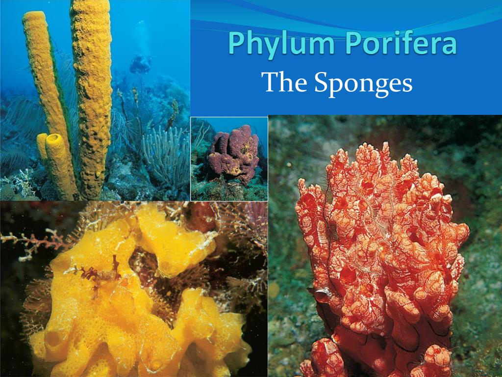 What are some characteristics of porifera