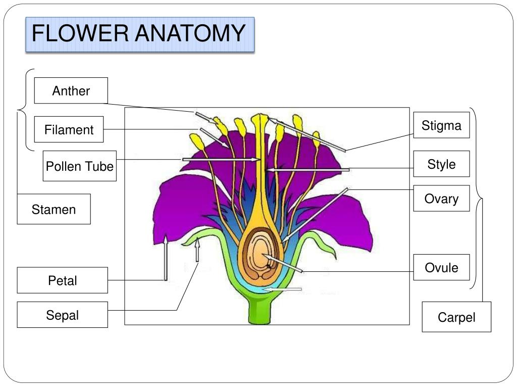 Flower Diagram Sepal Pollen Wiring Diagram Priv