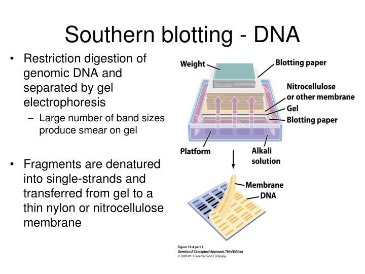 Southern blotting - DNA