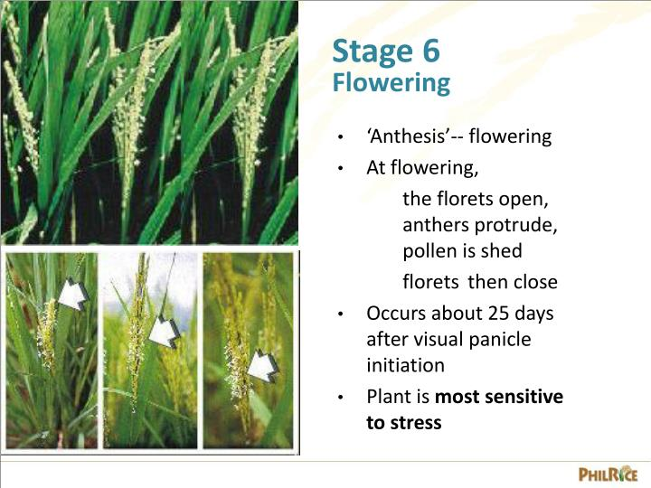 Ppt Growth Stages Of The Rice Plant Powerpoint Presentation Id