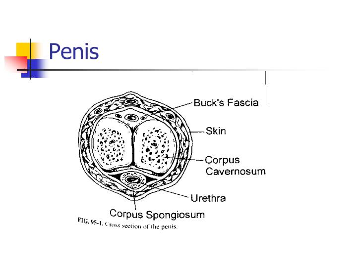 Ppt Male Genital Problems Powerpoint Presentation Id3124930