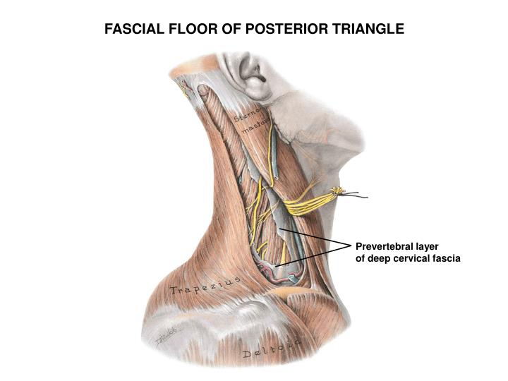 FASCIAL FLOOR OF POSTERIOR TRIANGLE