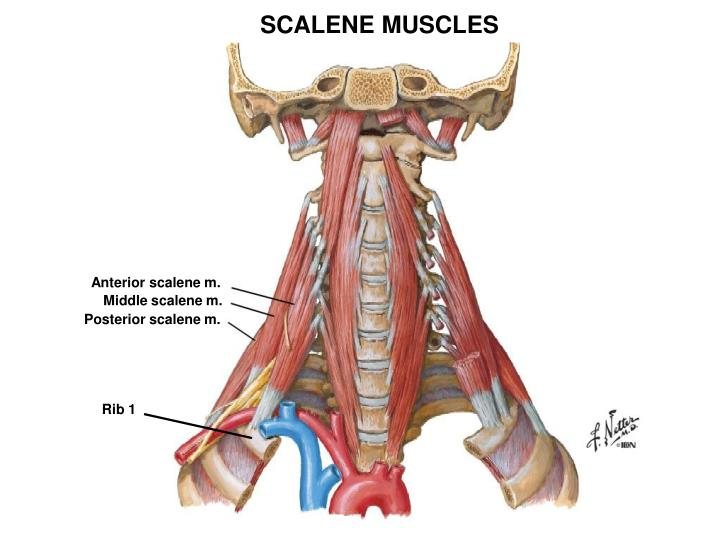 SCALENE MUSCLES
