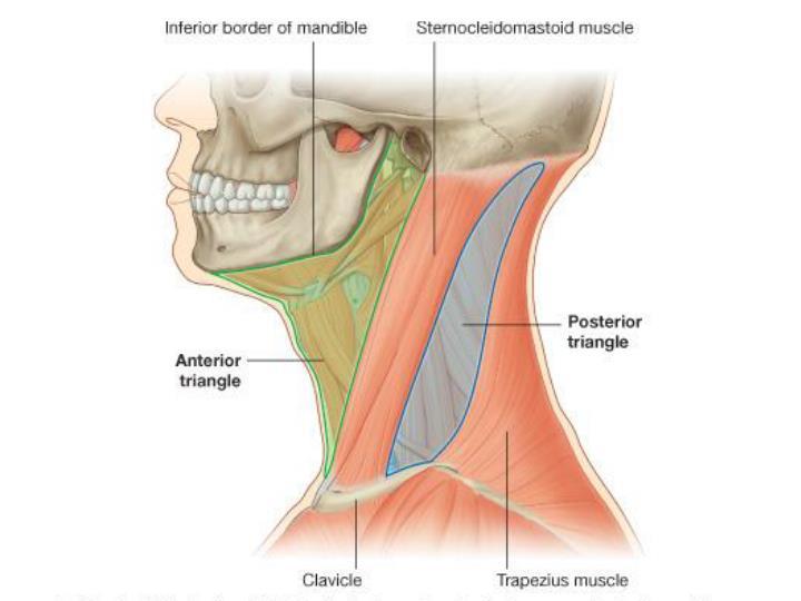 Posterior triangle of neck steven j zehren ph d