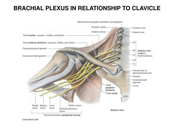 BRACHIAL PLEXUS IN RELATIONSHIP TO CLAVICLE