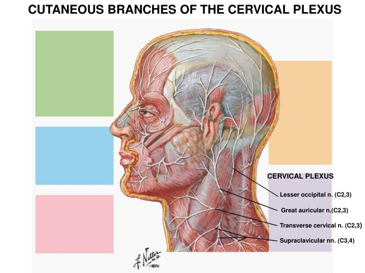 CUTANEOUS BRANCHES OF THE CERVICAL PLEXUS