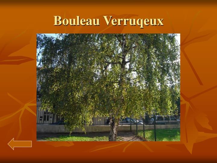 Bouleau verruqeux